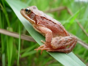 Adult common frog (photo by C. Brühl)