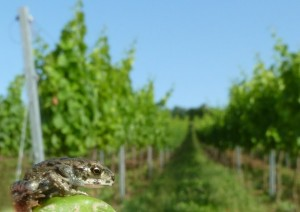 Juvenile European green toad (Bufo viridis) are present in vineyards in Rhineland-Palatinate (photo by C. Brühl)