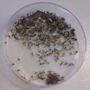 The chironomids after drying process – hundreds of individuals, but how many species? (photo by A. Kästel)