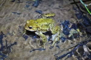 Common toad during migration to breeding pond (photo by C. Brühl)