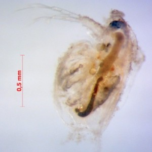 Daphnia with nanoparticles on surface (photo by R. Rosenfeldt)